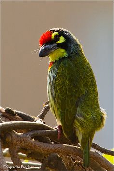 coppersmith barbet  photo by rajendra pradhan