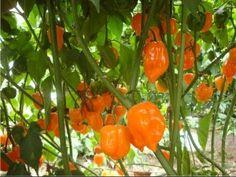 Germinacion de chile habanero (Capsicum chinense) - YouTube