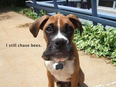 boxer shaming - One of my boxers would chase bees and eat spiders all the time, more trips to 24hr Vet than I care to remember....... silly dogs