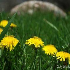 Dandelion Oil Salve. Infuse your own olive oil with dandelions picked from your backyard. Make a salve that is great for not just your skin, but your chicken's comb as well. All natural.