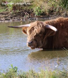 Highland Cattle, Nature, Wildlife Photography, Cow, Mark Conway Life Spirit