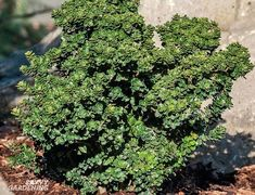 Small Evergreen Shrubs for Year-round Interest in Yards and Gardens - - These small evergreen shrubs are low maintenance and compact. They require little to no pruning and provide four seasons of beauty to the landscape. Shrubs For Landscaping, River Rock Landscaping, Small Front Yard Landscaping, Hillside Landscaping, Landscaping With Rocks, Landscaping Ideas, Small Evergreen Shrubs, Evergreen Landscape, Small Shrubs