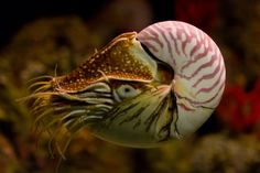 In the wild, wide milk chocolate-brown stripes adorn the beautiful smooth, white shells of the chambered nautilus, a deep-diving mollusk from the Indo-Pacific Ocean. Ocean Creatures, All Gods Creatures, Horseshoe Crab, Nautilus Shell, Cute Posts, Underwater Life, Zoology, Endangered Species, Beach Art
