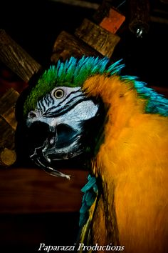 Aztec my Blue and Gold macaw enjoying one of the swing perches in my loft