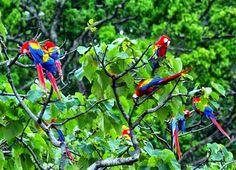 Scarlet Macaws at Playa Nicuesa Rainforest Lodge