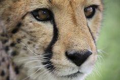 Cheetah Conservation Fund: www cheetah.org