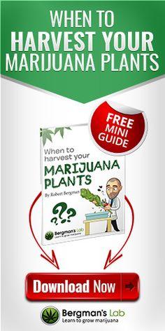When to harvest your marijuana plants