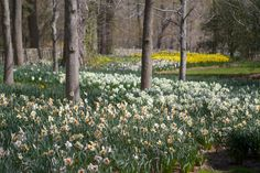 This is about one-third of the way down the daffodil border at my farm.