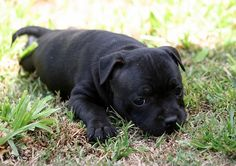 Staffy puppy Grey Pitbull Puppies, Cute Puppies, Cute Dogs, Dogs And Puppies, Pit Bulls, English Staffordshire Terrier, Staffy Dog, Different Dogs, Cute Animal Pictures