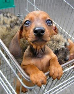 Oh, my word...this is why I avoid adoption centers.  I would be a dog hoarder.  How adorable is this little guy?!