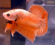 The Bettas of BettySplendens Pretty Fish, Beautiful Fish, Funny Animal Pictures, Funny Animals, Dragon Half, Beta Fish, Siamese Fighting Fish, Halfmoon Betta, Tropical Fish
