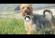 Australian Silky Terrier - Google+