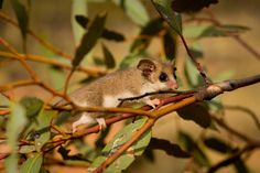 Pygmy Possum on a branch in a wildlife preserve. Ranging in length between 5 and 10 centimeters and often weighing in at barely over 10 grams, these mini marsupials are found hanging upside down in trees in Australia and New Guinea. They are so small and so difficult to spot that a new species of pygmy possum was just discovered as recently as 2007.