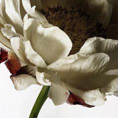 @princessesooan Pivoine #pivoine #peony #bloom #canon #love #instaflower #flowers #loveflowers #botanic #coral #photooftheday #petals #printemps #peonies #spring #simple #sun