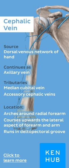 The cephalic vein is one of the most important veins in the upper extremity. Click for more info. #learn #anatomy
