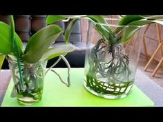 Things to know before you try the water culture growing method with orchids. - YouTube