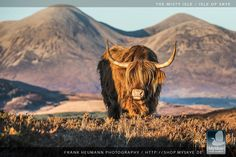 A bootiful coo befoore the mooontains of the Isle o' Skye. img via my skye. Scottish Highland Cow, Highland Cattle, Scottish Highlands, Fluffy Cows, Farm Life, Cute Animals, Scotland, Highlanders, Calves
