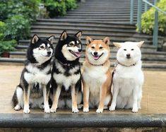 Shiba Breed Standard #QQPETS #dog #doglovers