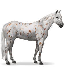 Koń Appaloosa, maść kasztanowata leopard