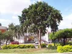 Arvore Cambuci - arborização urbana