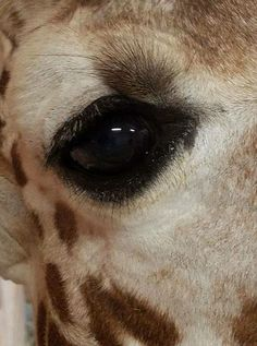 A LIVE STREAM of April the giraffe preparing to give birth at Animal Adventure Park in upstate New York has hooked millions of people across the world. Here are live updates on April the giraffe's condition as she prepares to welcome her calf. Giraffe Art, Cute Giraffe, Giraffe Pictures, Cute Animal Pictures, Most Beautiful Animals, Beautiful Creatures, Beautiful Eyes, Animals And Pets, Cute Animals