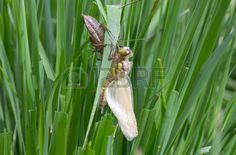 #Common #Clubtail #Emerging #From Its #Larva @123rf #123rf #dragonfly @carinzia #macro #insects #closeup #spring #summer #nature #outdoor #green #grass #egelsee #carinthia #stock #photo #download #hires