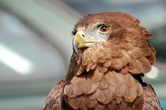 Eagle, Raptor, Bird Of Prey