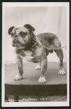 Bulldog colección C.H.