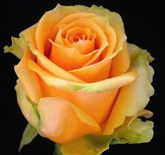 HIGH AND LUCKY ROSES -