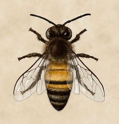 american honey bee scientific illustration - Google Search