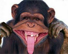 22 Funniest Monkey Face Pictures That Will Make You Laugh Laughing Animals, Smiling Animals, Happy Animals, Animals And Pets, Funny Animals, Cute Animals, Funny Monkey Pictures, Face Pictures, Cute Animal Pictures