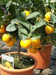Container Garden: 7 Tips to Growing Citrus Fruit Indoors | Reclaim, Grow, Sustain *Excellent article!