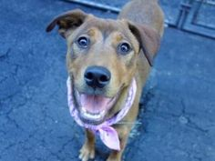 ♡ SAFE ♡ NUGGET – A1077172 FEMALE, TAN / WHITE, RHOD RIDGEBACK MIX, 8 mos STRAY – STRAY WAIT, NO HOLD Reason STRAY Intake condition EXAM REQ Intake Date 06/12/2016, From NY 10468, DueOut Date 06/12/2016