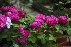 'Arthur de Sansal' Rose Photo