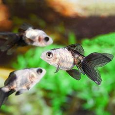 Koi, goldfish, & comets are great pond fish that are active, colorful, & attain large sizes. PetSolutions has many different goldfish for sale and koi for sale. Goldfish For Sale, Koi For Sale, Live Freshwater Fish, Fish Tank, Fresh Water, Panda, Cute Animals, Pets, White Gold
