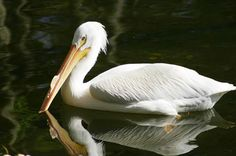 White Pelican- Pelecanus erythrorhynchos     White pelicans are cooperative feeders.  They do not plunge dive like the brown pelican, but rather, they use a coordinated feeding strategy and swim in a line or half circle, 'herding' fish towards the shore.  Two groups of pelicans will sometimes 'herd' fish towards each other.