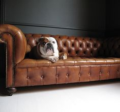 A sharp bulldog on a sharp Chesterfield sofa.