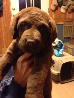 Does it get any sweeter? Chesapeake Bay Retriever, Delta