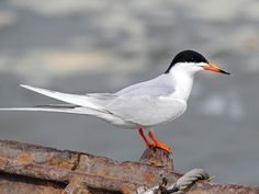 terns bird - Google Search
