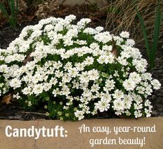 Candytuft: a gorgeous evergreen perennial with white flowers! You'll love this plant!