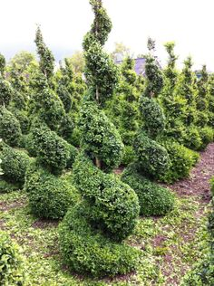 Buxus spiraal  Topiary Buxus, Plants, Art, Green Mountain Boxwood, Flora, Plant