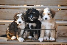 Crockett Doodles - Family Raised Doodle Puppies for Sale Puppies For Sale, Dogs And Puppies, Chihuahua Puppies, Australian Labradoodle, Training Your Puppy, Potty Training, Puppy Care, Pet Care, Crate Training