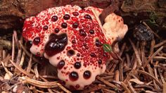 Bleeding Tooth Fungus! According to the University of Guelph in Ontario, the bleeding tooth fungus, or Hydnellum peckii, is an inedible mushroom commonly found under conifers. This mushroom gets its name from the fact that when young, it secretes droplets of a of red substance that looks eerily like blood.
