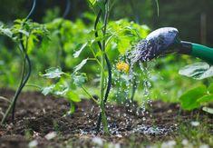 Use epsom salt to boost flavor in garden