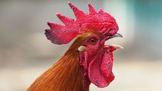 rooster - Google Search