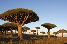 Dragon tree (Dracaena cinnabari), Socotra island, Yemen. Dragon Trees, Yemen On the Socotra island of Yemen, you'll find some odd and unreal-looking dragon blood trees. The name of the tree hails from its alarmingly red sap.