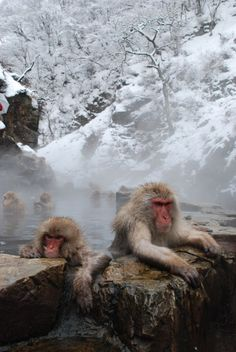 """Snow Monkey"" (Japanese macaque) in Hot spring #Nagano #Japan"