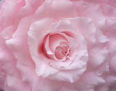 Jerry Donnan Camellia (japonica)