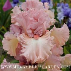 Iris  'Flamingo Frenzy' (T.Johnson 2012)