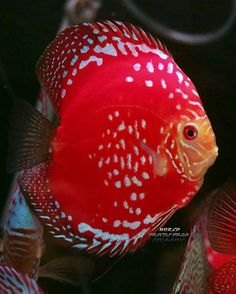 The Never- Ending Drift — fishtanklover:   Red Discus                                                                                                                                                                                 More